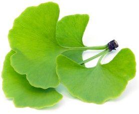 ginko hojas
