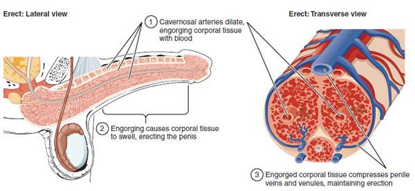 Penis-Anatomie